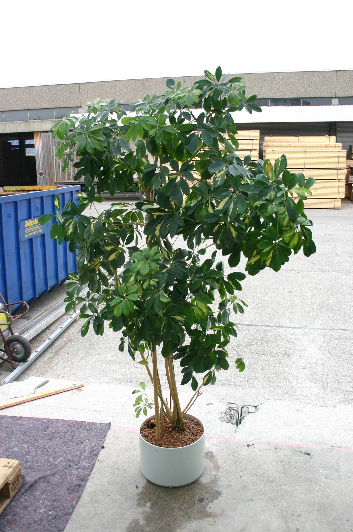 Buropflanze Schefflera Arboricola