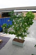 "Büropflanze ""Schefflera arboricola"""