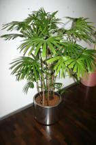 "Dekorative Pflanze ""Hanfpalme"" mit Edelstahltopf"