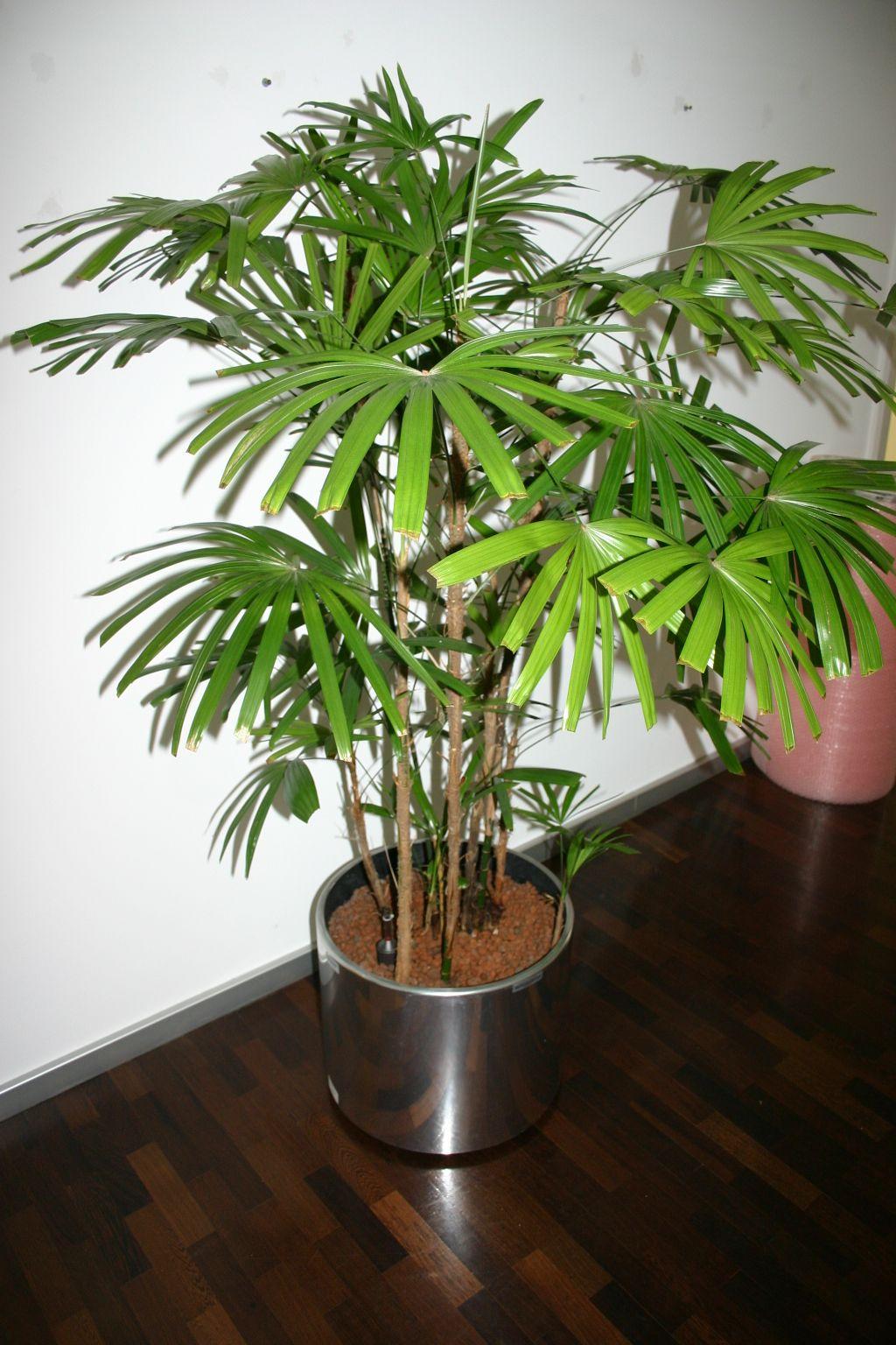 dekorative pflanze hanfpalme mit edelstahltopf. Black Bedroom Furniture Sets. Home Design Ideas