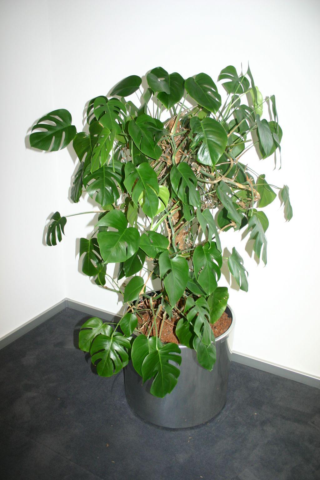 dekorative pflanze fensterblatt mit edelstahltopf. Black Bedroom Furniture Sets. Home Design Ideas